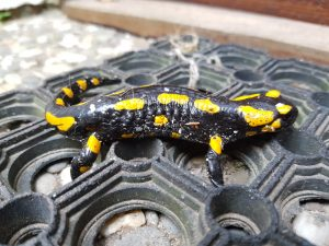 Natur erleben Heimische Tiere im Garten - Tiere beobachten Feuersalamander