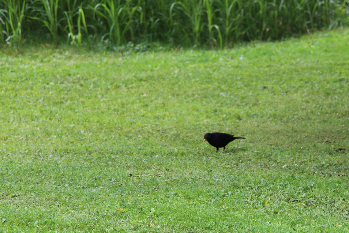 Tiere beobachten Amsel im Garten Ferienhaus Naturliebe