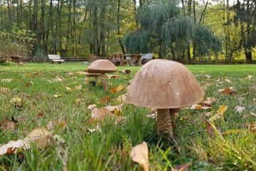 Birkenpilze sammeln im eigenen Garten Ferienhaus Naturliebe