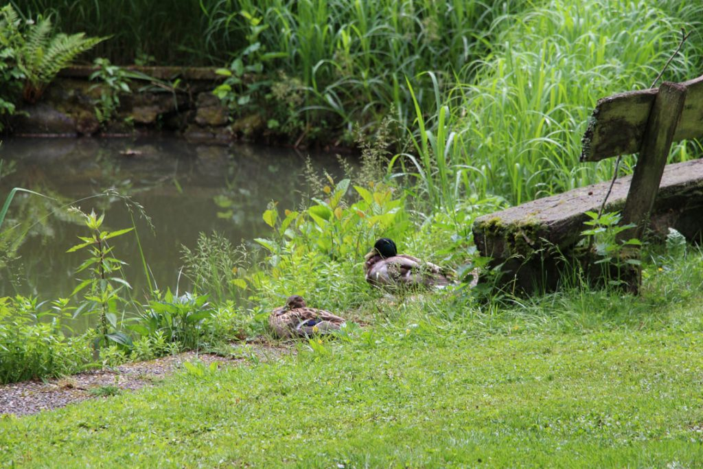 Natur erleben Enten am Teich Ferienhaus Naturliebe