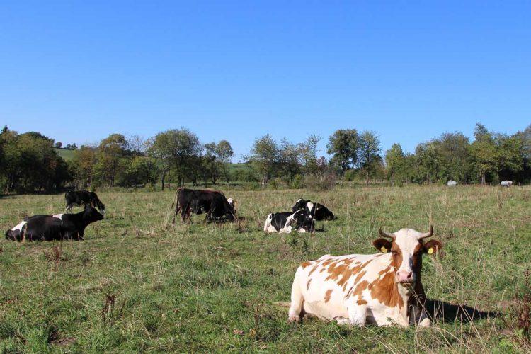 Kühe auf den Wiesen bei Gipfeltour Schotten