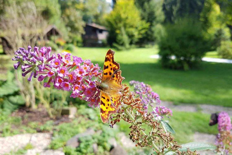 Schmetterling Ferienhaus Naturliebe in Laubach Gonterskirchen bei Schotten im Vogelsberg, Hessen, Deutschland