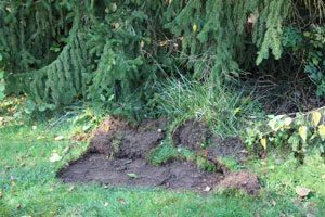 Grasnarbe abziehen, Steinpilze züchten