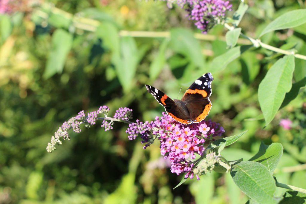 Tiere beobachten Schmetterling Admiral - Natur erleben