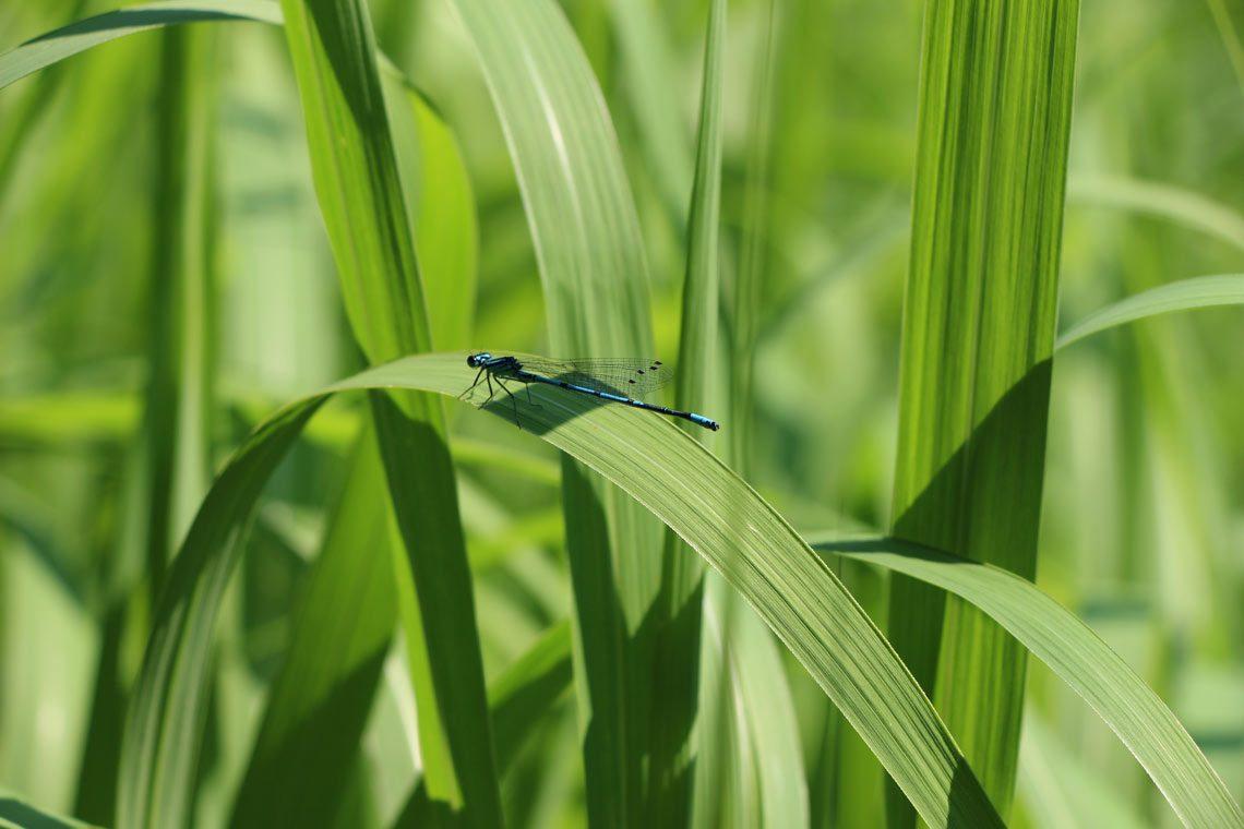 Heimische Tiere im Garten Libelle am Teich